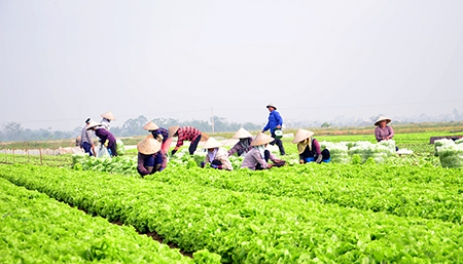Nghề trồng rau ở Trung An - Báo Thái Bình điện tử