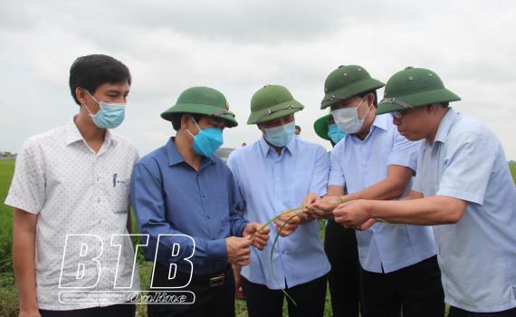 Các đồng chí lãnh đạo tỉnh kiểm tra công tác phòng trừ sâu bệnh tại Vũ Thư, Đông Hưng